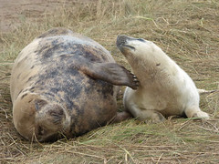 Oh yes Mama, that's the spot (Peanut1371) Tags: mammal seal pup greyseal greyseals donnanook nationalgeographicwildlife