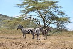 Acacia (Leela Channer) Tags: wild horses tree nature animal kenya dust creature acacia zebras equines equids yellowfevertree