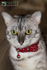 A Princess (Proper Photography) Tags: red cute cat canon silver pretty princess adorable kitty egyptian meow egyptianmau mau properphotography canon7d egyptianmaucat