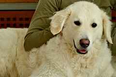 Mogli and I (balu51) Tags: dog tripod hund inside 60mm weiss februar kuvasz birthdaypresent 2016 stativ selbstauslser ungarischerhirtenhund copyrightbybalu51