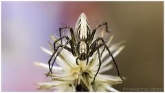 Lynx-Spider (Prasanna BA) Tags: india canon karnataka tamron digitalphotography udupi macrography prasanna postprocessing bhats phography adobecameraraw macroshots photoshopworks tamronmacro canoneos60d ditigitalimaging prasannabhatdigitalimaging  photoshopcc