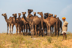 Pushkar Memories (Ashmalikphotography) Tags: lonelyplanet pushkar camels rajasthan camelfestival incredibleindia pushkarmela pushkarfestival ashmalikphotography ashishshoots ashmalik