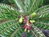 starr-130221-1595-Averrhoa_bilimbi-fruit_and_flowers-Waihee-Maui (Starr Environmental) Tags: averrhoabilimbi