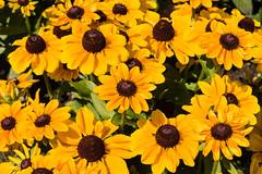 Friday's Flower Power (MR@tter) Tags: de geotagged deutschland echinacea natur blumen explore nrw nordrheinwestfalen brhl sonnenhut tamron1750 schlosaugustusburg