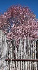 Cherry Blossoms (suenosdeuomi) Tags: fence spring blossoms cherryblossoms coyotefence canons90
