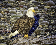 American Bald Eagle (Hawg Wild Photography) Tags: bird nature birds nikon eagle wildlife baldeagle bald american raptor prey eagles raptors baldeagles d810 of terrygreen nikon600mmvr