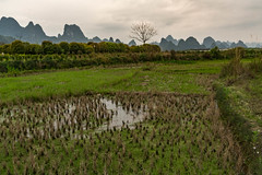Water chestnuts.jpg (Photos4Health) Tags: china morning travel sunset shadow mountain man male guy nature water ecology silhouette sunrise river dark li boat reflex clothing fisherman ancient scenery asia village place guilin yangshuo famous hill chinese scenic bamboo elderly fisher sail stick tradition guizhou karst villager guangxi ecotourism xingping waterchestnuts