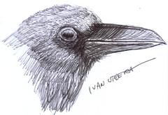cuervo a lapicero (ivanutrera) Tags: bird animal sketch drawing ave crow pajaro draw dibujo ilustracion cuervo pjaro lapicero dibujoalapicero dibujoenboligrafo