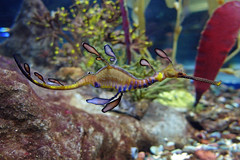 366 - Image 091 - Hippocampe (French seahorse)... **Explored** (Gary Neville) Tags: sony 365 mk3 2016 366 garyneville rx100 365photos 365images 366images sonyrx100