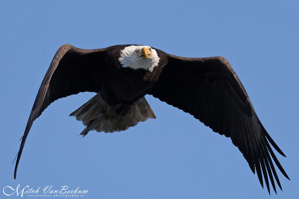 Straight Atcha! (American Bald Eagle)