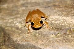 Lace Lid Frog - Litoria dayi (cramptonnic) Tags: photography treefrog litoria wildlifephotography frogphotography litoriadayi lacelidfrog australianlacelidfrog