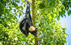 Fruit Bat 710_6606.jpg (Mobile Lynn) Tags: wild nature fauna mammal wildlife bat australia queensland mammals flyingfox fruitbat coth greatphotographers cairnscity megabat specanimal landmammals ruby5 sunrays5