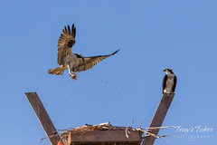 Male Osprey tosses grass toward its nest - Sequence - 9 of 19