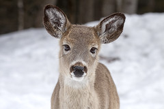 Whitetail Deer (Eunice Gibb) Tags: canada forest quebec wildlife parc parcomega forestanimals montebello canadianwildlife canadiananimals quebecwildlife