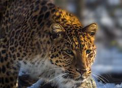 The hunter (roland_lehnhardt) Tags: portrait animals munich bavaria zoo tiere bravo wildlife leopard hunter hellabrunn panthera carnivora jäger felidae pardus chinesischer raubkatzen raubtier japonensis tierportrait specanimalphotooftheday groskatzen eos60d