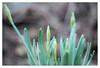 Contrast (leo.roos) Tags: lens prime buds fl challenge day75 narcis narcissus knoppen focallength primes lenzen dyxum darosa brandpuntsafstand leoroos dayprime meyerprimoplan7519 a7rii dayprime2016