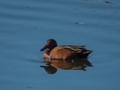 Cinnamon Teal (forwardbirds) Tags: cite cinnamontealanascyanoptera ballonafreshwatermarsh