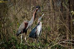 Aironi rossi (LightRapsody) Tags: nido rosso rossi oasi rituale aironi accopiamento