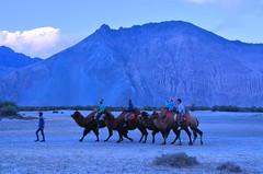 Camel Safari at Hunder in Nubra Valley (pallab seth) Tags: india mountain tourism landscape evening asia tour dusk himalayas sanddunes ladakh nubravalley hunder joyrides camelsafari bactriancamel jammuandkashmir diskit unknownplace camelusbactrianus colddesert