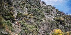 vulpes (monky.inc t-shirt) Tags: espaa animal fauna landscape flora asturias ave zorro llanes buitre rapaz asturies wildness salvaje carroa