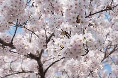 In the bloomed (Wunkai) Tags: japan 桜 cherryblossom sakura さくら 茨城 土浦 ibarakiken 新川 tsuchiurashi
