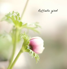 Papavero (Raffaella_Girod_filla) Tags: natura fiore ambiente valledaosta papavero raffaellagirod