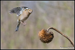Che guardi tu_? (torben84) Tags: nature fauna fly nikon natura volo tamron avifauna parus maior decollo tamronlens cinciallegra fringuello atterraggio landig fringuelli 150600 d7200