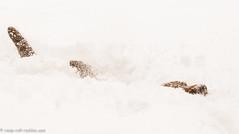 Swimming in the Snow (KB RRR) Tags: dog snow colorado rockymountains frontrange chocolatelabrador shyla