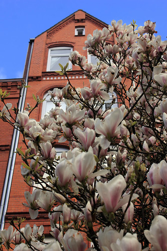 """Magnolienblüten (03) • <a style=""""font-size:0.8em;"""" href=""""http://www.flickr.com/photos/69570948@N04/25974957994/"""" target=""""_blank"""">View on Flickr</a>"""