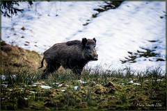 20160310__MS (wildfotografie) Tags: wild fauna tiere wildlife natur sau fp frhling wildschwein binsen wildtiere tierwelt schwarzwild wildwiese winterdecke bildumgebung wildtierfotografie