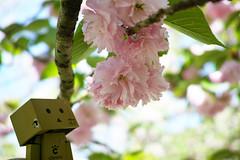 DP2M3217 (noryouforme) Tags: japan spring sigma figure sakura oita merrill foveon kaiyodo danbo yotubato danboard issinji dp2merrill megusuno