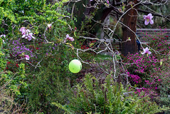 The One that Got Away (Jocey K) Tags: flowers trees newzealand christchurch plants spring balloon botanicgardens christchurchbotanicgardens