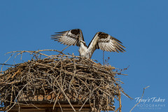 Osprey returns from Home Depot sequence - 24 of 27