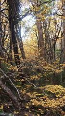 Fagus (Rotuli) Tags: australia tasmania fagus hounslowheath deciduousbeech nothofagusgunnii cradlemountianlakestclairnationalpark nothofagacae