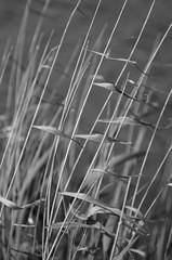 Wind.............. (Capturedbyhunter) Tags: white abstract black portugal branco 1 focus close pentax preto e santarm fernando 28 manual marques vivitar k5 135mm foco ribatejo monocrome coruche focusing monocromtico sorraia caador focagem fajarda