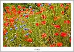 Roadside Meadow Flowers (flatfoot471) Tags: summer plant nature scotland unitedkingdom poppy normal lanarkshire 2015 southlanarkshire elsricke