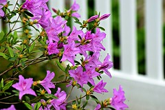 azalea and white picket fence.  or is this a rhododendron? (heyjudephoto) Tags: white color macro fence spring bush close purple blossom azalea picket lavendar