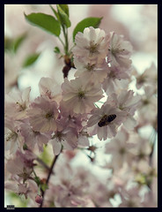 Sakura (4) (***RM***) Tags: flower tree nature beautiful beauty japan garden outside spring nikon dof cherryblossom sakura nikkor fragile d600 2470