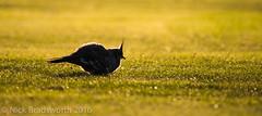 Crested pig (wl) Tags: light sunset bird grass lumix pigeon lawn australia victoria panasonic vic 100400mm dg 400mm vario gx8 crestedpigeon 100400