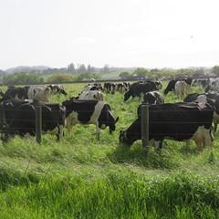 041416 wild cows 1 (69) (Sonomabuzz) Tags: california wild cow cows sonomacounty rohnertpark wildcows