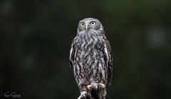 Barking Owl (tejas_gokhale) Tags: wildlife healesville owl australianbirds barkingowl