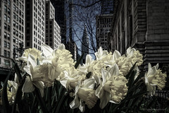 spring and chrysler building (thomas.reissnecker) Tags: nyc ny newyork spring chryslerbuilding manhatten