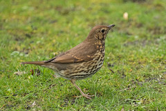 Song Thrush (queeny63) Tags: elements