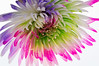 Colorful Flower On White (Ms Stacy) Tags: flowers macro water colors drops bright whitebackground dew daisy topaz 2016 illuminator colorright