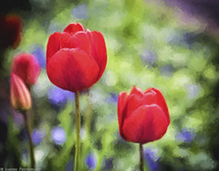 Red Tulips (Vincent mix) (mjardeen) Tags: plant flower monster garden washington spring king dof tulips bokeh painted 85mm 9 wa f2 tacoma jupiter vangogh impressionist a7ii nikcolorefex topazimpression