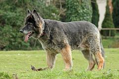Grand Old Alsatian. (BIKEPILOT) Tags: old uk greatbritain dog pet beautiful fauna grand canine hampshire alsatian germanshepard alton kingspond anmal