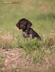 Blazer Sitting - 7 Weeks (Fly to Water) Tags: dog brown male field hair puppy point wire pointer hunting canine wirehaired german liver deutsch drahthaar