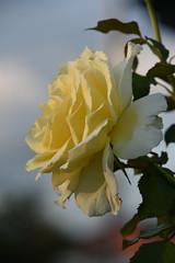waiting for sunset (sabinakurt62) Tags: sunset plant flower green art nature beautiful rose yellow garden photography spring flora nikon sydney australia