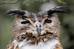 Owl (Matt_Trevillion_200k_Thanks!) Tags: owl rutland