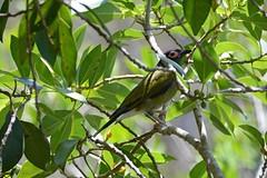Australasian Figbird (Sphecotheres vieilloti) Male (Keefy2014) Tags: male australasian figbird sphecotheres vieilloti